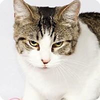 Domestic Shorthair Cat for adoption in Walworth, New York - Rex