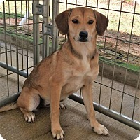 Labrador Retriever/Hound (Unknown Type) Mix Dog for adoption in Meridian, Mississippi - Letty