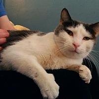 Adopt A Pet :: Marley: Chill Bro Lap-Cat - Brooklyn, NY