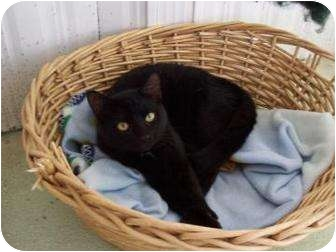 Domestic Shorthair Kitten for adoption in Brooksville, Florida - kenora