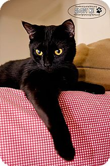 Domestic Shorthair Cat for adoption in Columbia, Maryland - Trixie