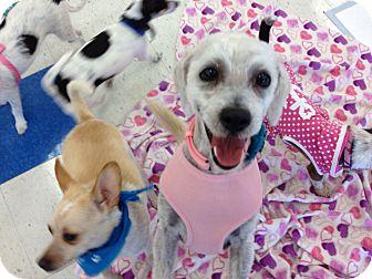 Poodle (Miniature)/Maltese Mix Dog for adoption in Brea, California - Maya