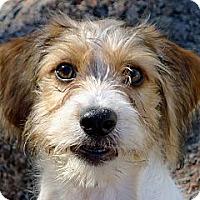Adopt A Pet :: Fiddle the Cavapoo Puppy - Ocala, FL