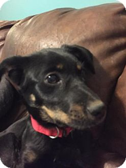 Rottweiler Mix Puppy for adoption in Christiana, Tennessee - Idina
