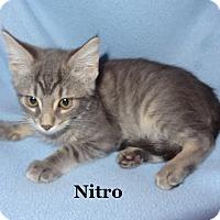 Adopt A Pet :: Nitro - Bentonville, AR