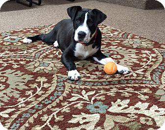Labrador Retriever Mix Puppy for adoption in Austin, Texas - Nike