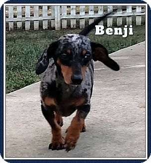 Dachshund Dog for adoption in Green Cove Springs, Florida - Benji