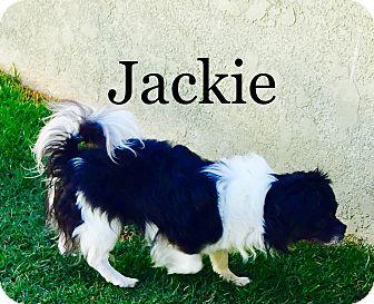 Pekingese/Tibetan Spaniel Mix Dog for adoption in SO CALIF, California - JACKIE