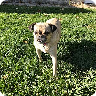 Pug Mix Dog for adoption in Hamilton, Ontario - Princess Beckham