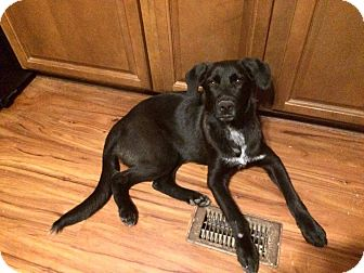 Labrador Retriever/Retriever (Unknown Type) Mix Puppy for adoption in Greenville, North Carolina - Mistress Midnight