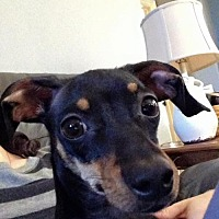 Adopt A Pet :: Gidget - Lindale, TX