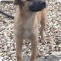 German Shepherd Dog/Labrador Retriever Mix Puppy for adoption in Fishkill, New York - BONNIE