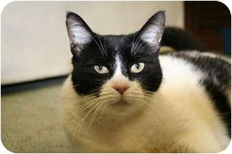 Domestic Mediumhair Cat for adoption in Naples, Florida - Mae Mae