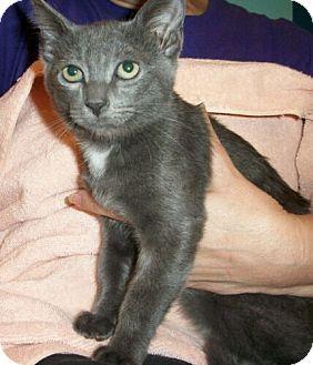 Domestic Shorthair Kitten for adoption in Reston, Virginia - Tara