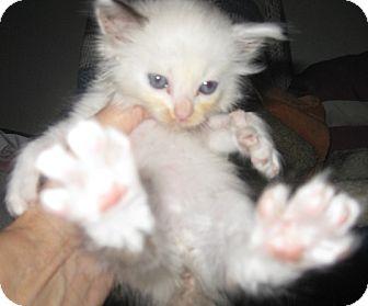 Ragdoll Kitten for adoption in Dallas, Texas - Darlin