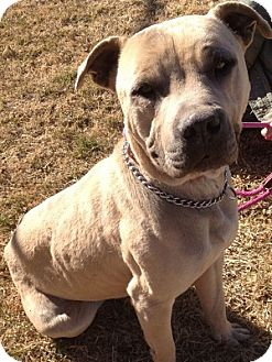 American Staffordshire Terrier Mix Dog for adoption in Alamogordo, New Mexico - Toby