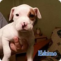 Adopt A Pet :: Eskimo - Marietta, GA