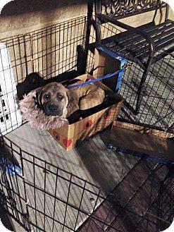Mastiff Puppy for adoption in Missouri City, Texas - Dudley