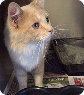 Domestic Mediumhair Cat for adoption in Anderson, South Carolina - Emmie
