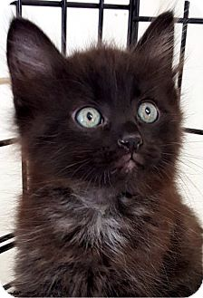 Domestic Mediumhair Kitten for adoption in Key Largo, Florida - Panda