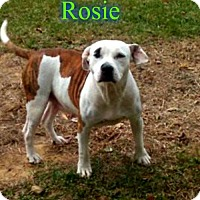 American Bulldog Mix Dog for adoption in Pensacola, Florida - Rosie