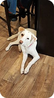 Labrador Retriever Mix Dog for adoption in waterbury, Connecticut - Momma