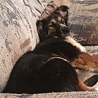 Australian Shepherd Mix Dog for adoption in Long Beach, California - Tiger Lily