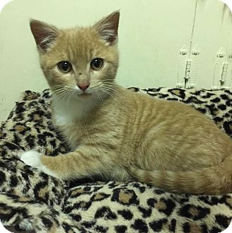 American Shorthair Kitten for adoption in New York, New York - Rusty