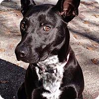 Adopt A Pet :: Shea - Folsom, LA