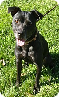 American Pit Bull Terrier/Labrador Retriever Mix Dog for adoption in Des Peres, Missouri - Kylie