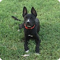 Adopt A Pet :: Sheena - Phoenix, AZ