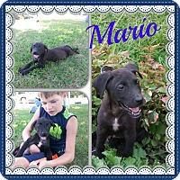 Adopt A Pet :: Mario - Stamford, CT