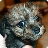 Adopt A Pet :: Farkle-ADOPTION PENDING - Bridgeton, MO