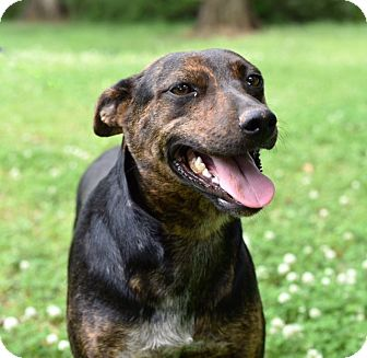 Catahoula Leopard Dog/German Shepherd Dog Mix Dog for adoption in Kittery, Maine - Camille