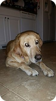 Labrador Retriever Mix Dog for adoption in Smithfield, North Carolina - Rambler