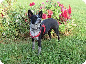 Blue Heeler Mix Dog for adoption in Cameron, Missouri - ola