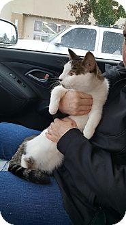 Domestic Shorthair Cat for adoption in Lacey, Washington - Kabota