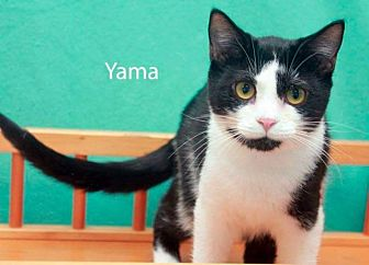 Domestic Shorthair Cat for adoption in Saint Robert, Missouri - Yama