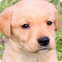 Adopt A Pet :: MISS EMERSON( THE TOTAL PUPPY! - Wakefield, RI