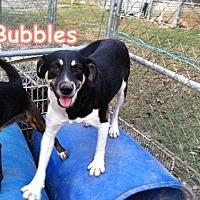 Adopt A Pet :: Bubbles - Boaz, AL
