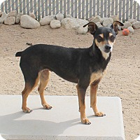 Adopt A Pet :: Susie Scarlet Knight - Yucca Valley, CA