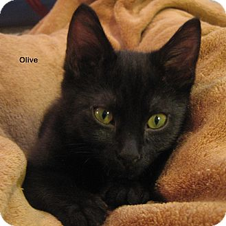 Domestic Shorthair Kitten for adoption in Portland, Oregon - Olive