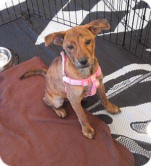 Labrador Retriever/Shar Pei Mix Puppy for adoption in Phoenix, Arizona - Gigi