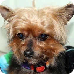 Yorkie, Yorkshire Terrier Dog for adoption in Hardy, Virginia - Elsie