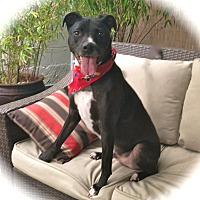 Border Collie/Greyhound Mix Dog for adoption in Los Angeles, California - Cute Chappie-VIDEO
