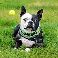 Boston Terrier Dog for adoption in Mead, Washington - Bruce