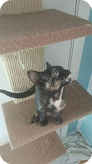 Domestic Shorthair Kitten for adoption in Brightwaters,, New York - Sara