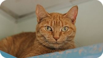 Domestic Shorthair Cat for adoption in Indianapolis, Indiana - Tangerine