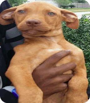 Plott Hound Mix Puppy for adoption in Fort Collins, Colorado - Eddie