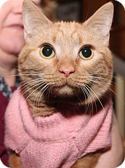 Domestic Shorthair Cat for adoption in Media, Pennsylvania - Ginger Snap